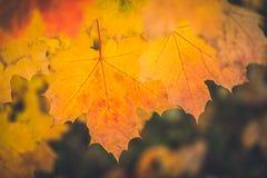 秋天干燥黄色枫叶关闭有被弄脏的黑暗的背景 图库摄影