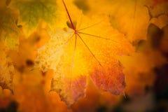 秋天干燥黄色枫叶关闭有被弄脏的黑暗的背景 免版税图库摄影