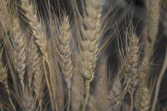 秋天干麦子束 库存图片