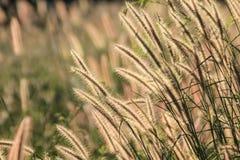 秋天开花的草 库存图片