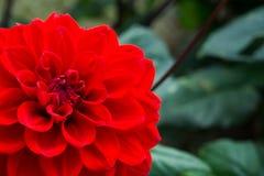 秋天开花,一朵红色大丽花的宏指令 库存图片