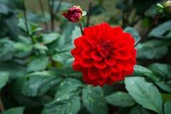 秋天开花,一朵红色大丽花的宏指令 图库摄影