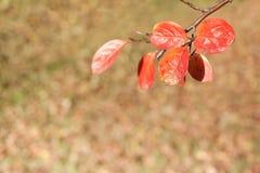 秋天弄脏了与焦点的背景在有橙色叶子的枝杈 库存照片