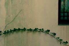 秋天弯曲的藤在墙壁上分支,提取植物在深绿的窗口下,一定数量的藤条墙壁,沉寂,耷拉 免版税图库摄影