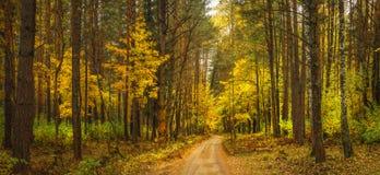 秋天报道的划分为的森林地面横向留下黄色 在黄色森林的惊人的充满活力的全景在10月 秋天 图库摄影