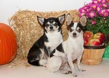 秋天收获奇瓦瓦狗的 免版税库存照片