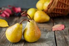 秋天收获概念-新鲜的成熟有机黄色梨用水在土气木桌,黑暗的石背景上滴下 Vegetaria 免版税库存照片
