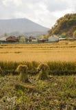 秋天收获水稻 库存图片