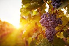 秋天收获的葡萄园 免版税图库摄影