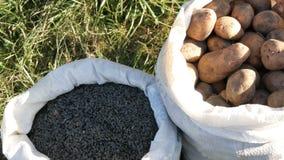 秋天收获袋子土豆和向日葵种子 股票视频