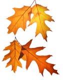 秋天放光夜间叶子橡木星期日结构树 免版税图库摄影