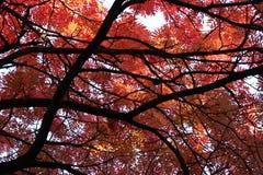 秋天日本花揪结构树 免版税图库摄影