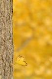 秋天日银杏树结构树 免版税图库摄影