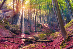 秋天早晨在神秘的森林 免版税库存照片
