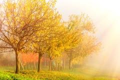 秋天早晨日出风景 与五颜六色的黄色树和葡萄园的国家边雾的 南摩拉维亚,捷克 库存图片