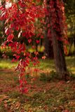 秋天时间 树型少女葡萄爬山虎属quinquefol 免版税库存照片