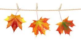 秋天时间装饰,在与克洛的绳索别住的干燥槭树叶子 库存照片