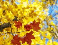 秋天明亮的叶子 免版税图库摄影