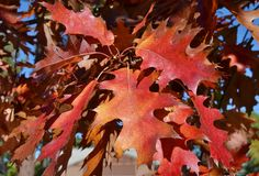 秋天明亮的红槭叶子在大熊 库存照片