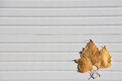 秋天明亮的黄色的摄影图象在阳光离开在被采取的白色木背景在南海岸英国英国 免版税库存图片
