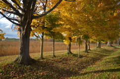 秋天晚上阳光通过树行与金黄领域的在背景中 库存图片