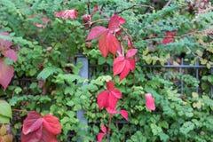 秋天月10月显示在fenc的五颜六色的红色和绿色叶子 免版税库存照片
