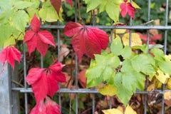 秋天月10月显示在fenc的五颜六色的红色和绿色叶子 图库摄影