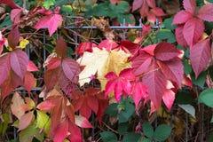 秋天月10月显示在fenc的五颜六色的红色和绿色叶子 免版税库存图片