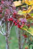 秋天月10月显示在fenc的五颜六色的红色和绿色叶子 免版税图库摄影