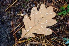 秋天有水下落的橡木叶子 库存照片