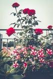 秋天有玫瑰和喇叭花的阳台庭院 各种各样的花盆和装饰植物叶子 库存图片