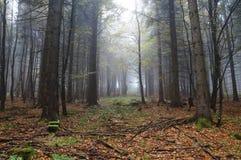 秋天有薄雾山毛榉的森林 免版税库存图片