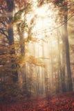 秋天有薄雾的森林在阳光下 图库摄影