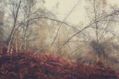 秋天有薄雾的背景、桦树树丛和蕨 免版税库存图片