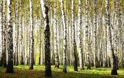 秋天有阳光的桦树树丛和阴影在10月晚上 免版税库存图片