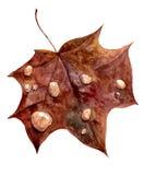 秋天有雨水滴的枫叶  免版税库存照片