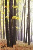 秋天有雾的时间 有发光通过树的太阳的为时的金黄色森林 在黑暗的树干的发光的叶子 免版税库存照片