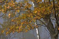 秋天有雾的森林 免版税库存照片