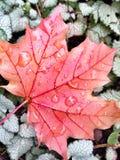 秋天有露水的枫叶 免版税库存图片