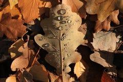秋天有水下落的橡木叶子 免版税图库摄影