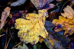 秋天有水下落的橡木叶子 免版税库存照片