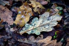 秋天有水下落的橡木叶子 免版税库存图片