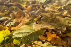 秋天有水滴的橡木叶子  图库摄影