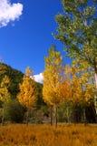 秋天有黄色金黄白扬树的秋天森林 图库摄影