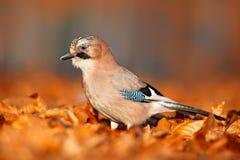秋天本质上 在秋天期间,鸟欧亚混血人杰伊, Garrulus glandarius画象,与橙色跌倒叶子和早晨太阳 库存图片