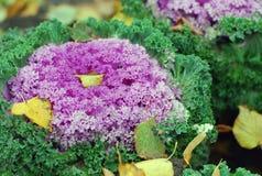 秋天本质: 紫罗兰色圆白菜在公园 免版税图库摄影