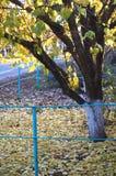 秋天杏树和金黄下落的叶子在一个农村庭院 免版税库存图片