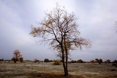 秋天杨属diversifolia 免版税库存照片