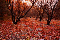 秋天林槭树叶子  免版税库存图片