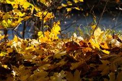 秋天枫叶背景,阳光 公园或森林 免版税库存图片